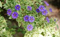 Blue Flowers On Bush  27 High Resolution Wallpaper