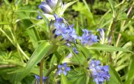 Blue Flowers Perennials  2 Desktop Wallpaper