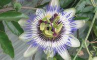 Blue Flowers Perennials  35 Cool Hd Wallpaper