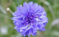 Blue Flowers Pictures  5 Cool Hd Wallpaper