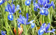 Blue Irises 1 Free Wallpaper