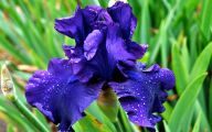 Blue Irises 26 Cool Hd Wallpaper