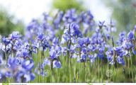 Blue Irises 27 Free Hd Wallpaper