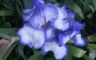 Blue Irises 30 Hd Wallpaper