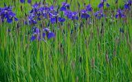 Blue Irises 32 Cool Hd Wallpaper
