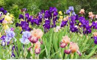Blue Irises 5 Background