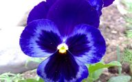 Blue Pansies 10 Background Wallpaper