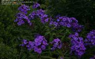 Blue Phlox 11 High Resolution Wallpaper