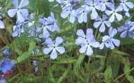 Blue Phlox 12 Wide Wallpaper