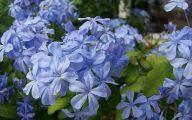 Blue Phlox 18 Cool Hd Wallpaper