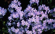Blue Phlox 26 Free Hd Wallpaper