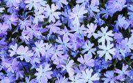 Blue Phlox 7 Free Wallpaper
