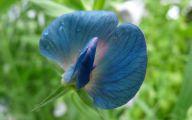 Blue Sweet Peas 15 Wide Wallpaper