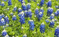 Bluebonnet 26 Widescreen Wallpaper