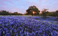 Bluebonnet 30 Wide Wallpaper
