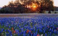Bluebonnet 32 Cool Hd Wallpaper