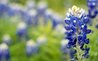 Bluebonnet 33 Widescreen Wallpaper