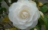 Camellia White Flower 1 Desktop Background