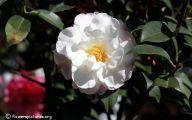 Camellia White Flower 11 Background