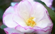 Camellia White Flower 15 Free Wallpaper