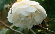 Camellia White Flower 18 Background Wallpaper