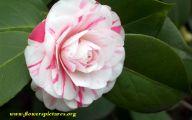 Camellia White Flower 22 Desktop Wallpaper