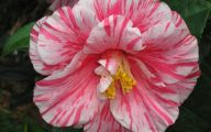 Camellia White Flower 23 Desktop Background