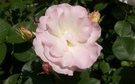 Camellia White Flower 25 Cool Wallpaper