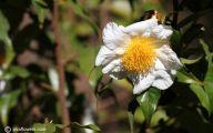 Camellia White Flower 28 Free Hd Wallpaper