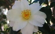 Camellia White Flower 3 Desktop Background