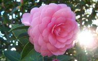 Camellia White Flower 31 Free Wallpaper