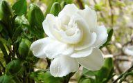 Camellia White Flower 8 Cool Wallpaper