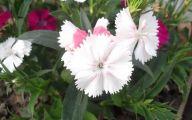 Carnation White Flower 10 High Resolution Wallpaper