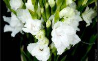 Carnation White Flower 12 Desktop Wallpaper