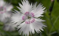 Carnation White Flower 25 Free Wallpaper