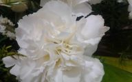 Carnation White Flower 38 Cool Wallpaper