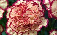 Carnation White Flower 41 Free Hd Wallpaper