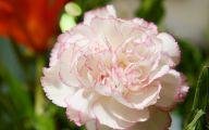 Carnation White Flower 8 Desktop Background