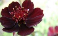 Chocolate Cosmos Flowers 1 Cool Wallpaper