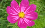 Chocolate Cosmos Flowers 31 Background Wallpaper