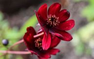 Chocolate Cosmos Flowers 33 Widescreen Wallpaper