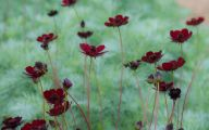 Chocolate Cosmos Flowers 36 Background Wallpaper