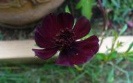 Chocolate Cosmos Flowers 5 High Resolution Wallpaper