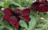Chocolate Cosmos Flowers 7 Widescreen Wallpaper