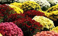 Chrysanthemum 11 Free Hd Wallpaper