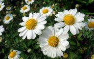 Chrysanthemum 12 Background