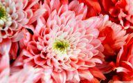 Chrysanthemum 13 Wide Wallpaper