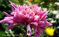Chrysanthemum 14 High Resolution Wallpaper