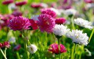 Chrysanthemum 17 Free Wallpaper