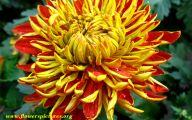 Chrysanthemum 2 Cool Hd Wallpaper